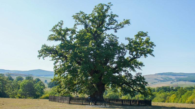 stejarul de la Mercheasa